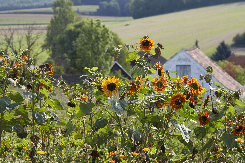 Biohof Grüner Baum Sonnenblumen